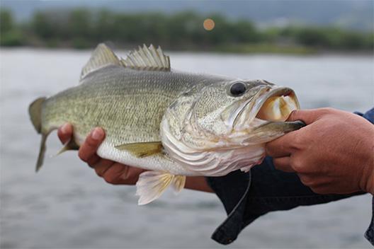 琵琶湖でバス釣り、唐崎、自衛隊前&自衛隊沖エリアで爆釣でした!