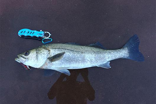 神戸は六甲アイランドでシーバス、レンジバイブで釣れた。