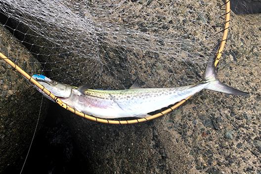 貝塚人工島でサゴシ釣ったけど、メジロ??にライン切られた。。