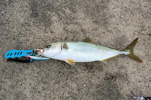 ヘビーミノー ピンテールがおすすめ過ぎる!貝塚人工島でもハマチ。